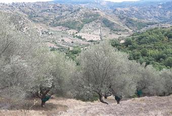 Terreno coltivato di circa 3 ettari con ulivi, parte di bosco, orto e alberi da frutta. Campania SA Castellabate
