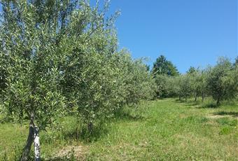 Vigneto 2 e Uliveto già produttivi Campania AV Montemarano